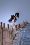 Poney sauvage d'île d'Assateague dans HDR Photographie stock