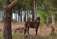 Poney sauvage d'Exmoor Photographie stock