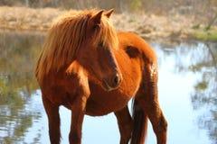 Poney sauvage de Chincoteague Image stock