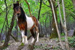 Poney sauvage en nature   Photos stock
