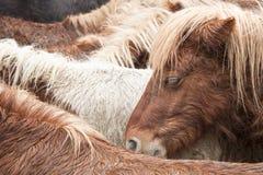 Poney selvagem Fotografia de Stock