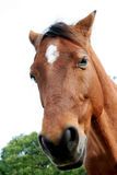 Poney somnolent Photo libre de droits