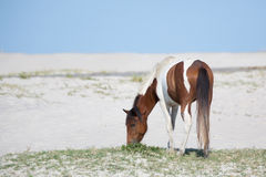 Poney sur la plage mangeant l'herbe Image stock
