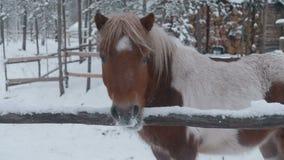 Poneypaard het weiden op het landbouwbedrijf in de winter stock video