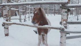Poneypaard het weiden op het landbouwbedrijf in de winter stock footage