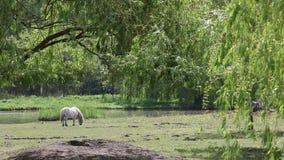 Poneypaard op weiland stock footage