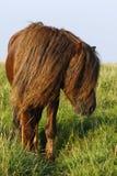 Poneys étalon et jument de Dartmoor photo libre de droits