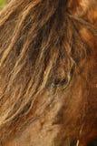 Poneys étalon et jument de Dartmoor image libre de droits