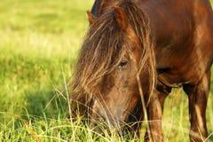 Poneys étalon et jument de Dartmoor images libres de droits