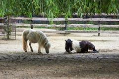 poneys Stock Foto