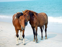 Poneys d'Assateague Image libre de droits