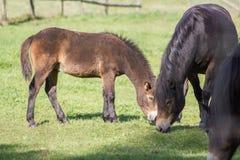 Poneys d'un Exmoor de troupeau dans le pâturage Photos libres de droits
