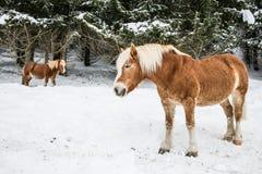 Poneys de Brown dans Milou Jura Pine Trees Forest en hiver Photo stock