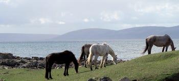 Poneys de Connemara Photos libres de droits