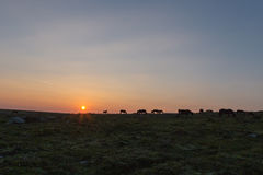 Poneys de Dartmoor au lever de soleil Image libre de droits