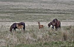 Poneys de Dartmoor, parc national de Dartmoor, Devon Photo stock