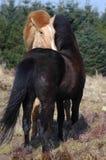 Poneys die in de wind verzorgen royalty-vrije stock fotografie
