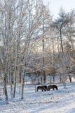 Poneys en forêt de l'hiver Photographie stock