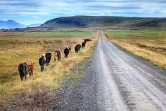 Poneys islandais Images libres de droits