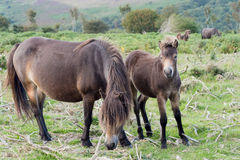 Poneys, jument et poulain d'Exmoor Chevaux sauvages Images stock