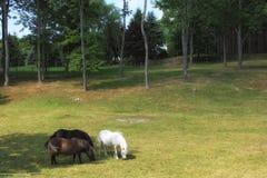 Poneys mangeant l'herbe Images libres de droits