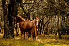 poneys neufs de forêt Image stock