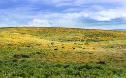 Poneys près de massif de roche de Haytor Photos stock