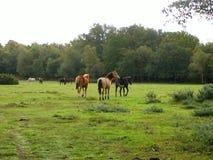 Poneys sauvages Photos stock