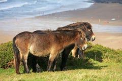 Poneys sauvages Photo libre de droits