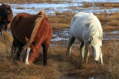 Poneys sauvages Image libre de droits