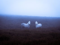 Poneys sauvages et lumière atmosphérique image stock
