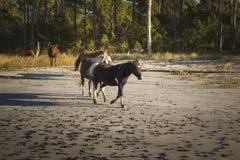 Poneys sauvages fonctionnant sur l'île d'Assateague Photos libres de droits