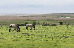 Poneys sauvages, Konik Polski, près des marais du Suffolk Photographie stock libre de droits