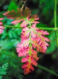 Ponga en contraste los colores rojos y las hojas verdes antes de caer del tre foto de archivo