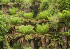 Ponga forest at Ohakune Old coach road walk Stock Images