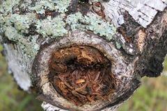 Ponga las ramas quebradas del abedul en el bosque Imagen de archivo libre de regalías