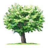 Ponga verde el árbol de mora aislado, ejemplo de la acuarela en blanco stock de ilustración