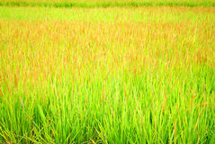 Ponga verde el arroz Fotografía de archivo