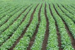 Ponga verde el campo cultivado de la haba de la soja en comienzo del verano imagenes de archivo
