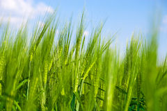 Ponga verde el campo de trigo Foto de archivo
