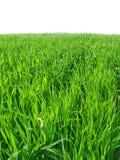Ponga verde el campo de trigo Imágenes de archivo libres de regalías