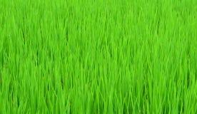 Ponga verde el campo del arroz Foto de archivo libre de regalías