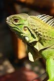 Ponga verde el cierre asiático de la iguana del reptil para arriba Imagenes de archivo