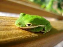 Ponga verde el cierre de la rana de árbol para arriba Imagenes de archivo