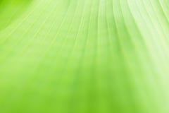Ponga verde el fondo de la hoja del plátano Foto de archivo libre de regalías