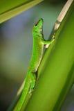 Ponga verde el gecko fotografía de archivo libre de regalías
