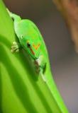 Ponga verde el gecko Foto de archivo