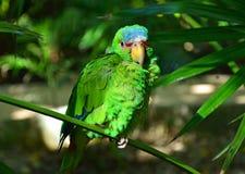 Ponga verde el loro del Amazonas Fotografía de archivo