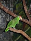 Ponga verde el loro del Amazonas Imagen de archivo