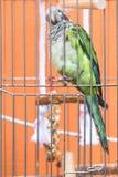 Ponga verde el loro emplumado tirado sin embargo las barras de una jaula de pájaros foto de archivo libre de regalías